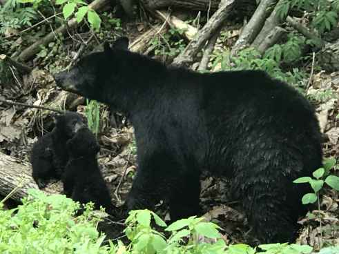7 Tips when confronted with a Black Bear  by Rebecca  Helton